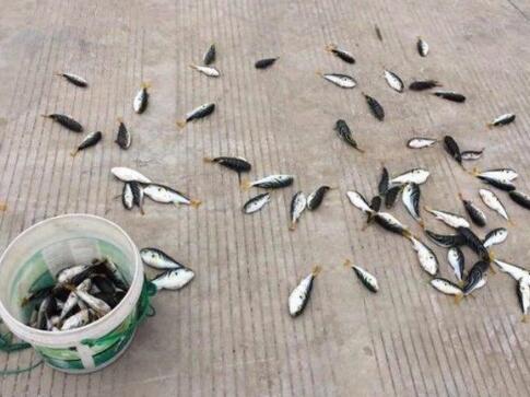 简单分析吃河豚鱼者的心理